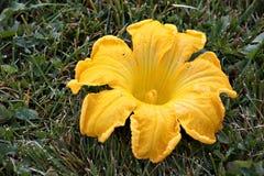 Flor de la calabaza Fotos de archivo libres de regalías