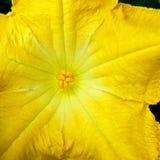 Flor de la calabaza fotografía de archivo libre de regalías