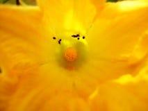 Flor de la calabaza Foto de archivo