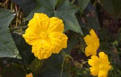 Flor de la calabaza Imágenes de archivo libres de regalías