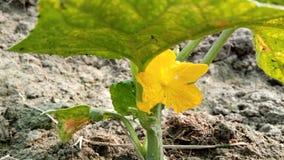 Flor de la calabaza Imagenes de archivo