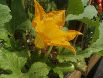 Flor de la calabaza Foto de archivo libre de regalías