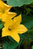 Flor de la calabaza Fotografía de archivo