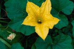Flor de la calabaza Imagen de archivo libre de regalías