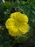 Flor de la calabaza de esponja Imagenes de archivo