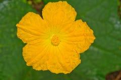 Flor de la calabaza de la lufa Foto de archivo