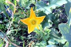 Flor de la calabaza en el jardín Foco selectivo de la imagen Imagenes de archivo