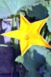 Flor de la calabaza en el jardín Foco selectivo de la imagen Foto de archivo
