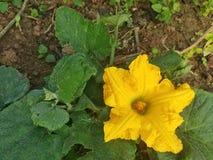 Flor de la calabaza en el jardín verde orgánico Fotografía de archivo libre de regalías