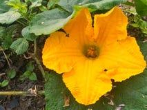 Flor de la calabaza en el jardín verde orgánico Foto de archivo