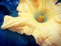 Flor de la calabaza en el jardín verde orgánico Foto de archivo libre de regalías