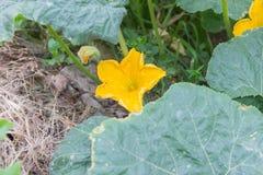 Flor de la calabaza en el patio trasero Fotos de archivo