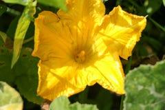 Flor de la calabaza en la planta vegetal Foto de archivo libre de regalías