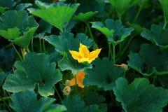 Flor de la calabaza en la planta vegetal Fotografía de archivo