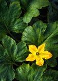 Flor de la calabaza o de la calabaza Fotografía de archivo libre de regalías