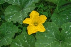 Flor de la calabaza - planta de la calabaza Imagenes de archivo