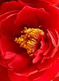 Flor de la camelia Fotos de archivo