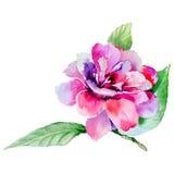 Flor de la camelia del Wildflower en un estilo de la acuarela aislada libre illustration