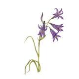 Flor de la campanilla Imagenes de archivo
