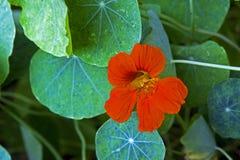 Flor de la capuchina de jardín, planta medicinal Imagenes de archivo