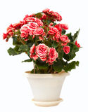 Flor de la casa Fotos de archivo libres de regalías