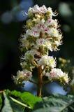 Flor de la castaña Fotos de archivo