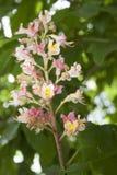 Flor de la castaña Imagenes de archivo