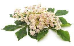 Flor de la castaña con las hojas Foto de archivo libre de regalías