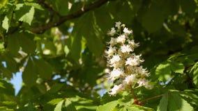 Flor de la castaña Contra el contexto de hojas verdes metrajes