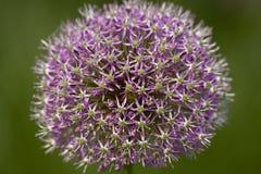 Flor de la cebolla Fotos de archivo libres de regalías