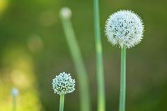 Flor de la cebolla Imágenes de archivo libres de regalías