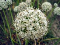 Flor de la cebolla fotos de archivo