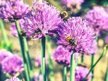 Flor de la cebolla de la cebolleta con las abejas Floración rosada de la flor en jardín Imagen de archivo