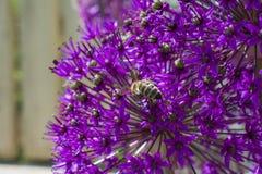 Flor de la cebolla del allium con la abeja Fotos de archivo libres de regalías