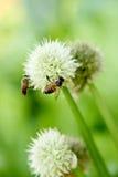 Flor de la cebolla verde Imagen de archivo libre de regalías
