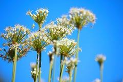 Flor de la cebolleta Fotografía de archivo