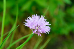 Flor de la cebolleta Foto de archivo