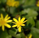 Flor de la celidonia menor Imágenes de archivo libres de regalías