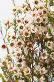 Flor de la cera Fotos de archivo