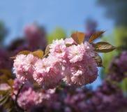 Flor de la cereza de Sakura Fotografía de archivo libre de regalías