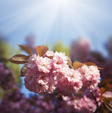 Flor de la cereza de Sakura Fotos de archivo