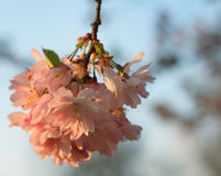 Flor de la cereza de Sakura (serrulata del Prunus) Imagen de archivo libre de regalías