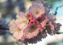 Flor de la cereza de Sakura (serrulata del Prunus) Imagen de archivo
