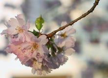 Flor de la cereza de Sakura (serrulata del Prunus) Foto de archivo libre de regalías