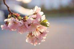 Flor de la cereza de Sakura (serrulata del Prunus) Fotografía de archivo