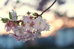 Flor de la cereza de Sakura (serrulata del Prunus) Fotografía de archivo libre de regalías