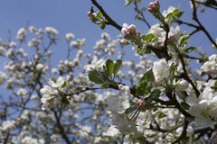 Flor de la cereza en el cielo azul Flor blanca con la abeja Fotos de archivo