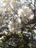 Flor de la cereza en el cielo azul Flor blanca con la abeja Imágenes de archivo libres de regalías