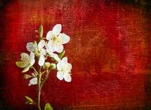 Flor de la cereza en fondo de madera rojo Foto de archivo libre de regalías