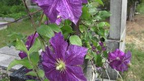 Flor de la clemátide